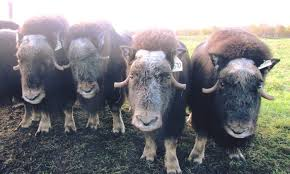 Musk Ox Farm and Iditarod HQ